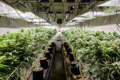 Free Indoor Marijuana Grow Room Showing Lots Of Plants Stock Photos - 135804653