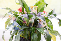 Indoor Money Plant