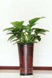 Indoor Ornamental Plants Stock Images