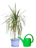 Indoor plant. In a plastic decorative pot with a watering can for leaving and watering on a white background Royalty Free Stock Photography