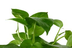 Indoor plant 3. Isolated shot of a typical indoor plant Royalty Free Stock Image