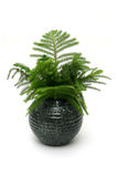 Indoor plant. Araucaria pine in highly glossed round black vase Stock Photo