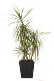 indoor plant dracaena marginata isolated Stock Images