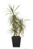 Indoor plant dracaena marginata isolated Stock Images