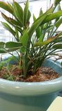 Indoor Plant. A green plant in a blue pot with fertilizer in the soil Stock Photos