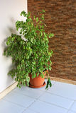 Indoor plant. Green indoor plant in a red pot Royalty Free Stock Photography