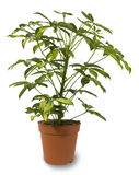 Indoor Plant Isolated. In a pot Royalty Free Stock Photos