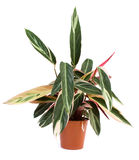 Indoor plant Royalty Free Stock Photos