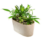 Indoor plant in a pot. Isolated over a white background Stock Photography