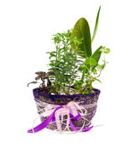 Indoor plant in a pot. Isolated over a white background Stock Image