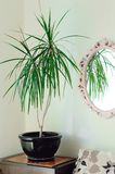 Indoor plant in the pot. A mirror in a beautiful frame hangs on the wall. Vertical photography. Close-up stock images