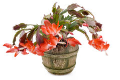 Indoor plant with red colors. In a pot Stock Photo
