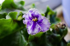 Indoor plant. Violet. Flower on podokonike. Spring flowers. Home violet. Violet Violet. Curly Violet. Green leaves and bright flow. Er. Flower. Flower in a pot royalty free stock photos