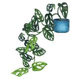 Indoor plant watercolor illustration.  Baby monstera with small leaves in a blue pot. Liana. Indoor plant watercolor illustration. Home plants. Baby monstera royalty free illustration