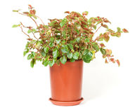 Indoor plant Stock Photography