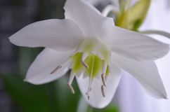 Indoor plants: eucharis - Amazon lily stock image