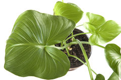 Indoor plants macro Royalty Free Stock Image