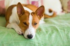 Indoor portrait of basenji dog Stock Photography