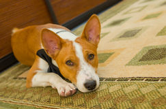 Indoor portrait of basenji dog Royalty Free Stock Images