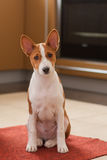 Indoor portrait of little basenji puppy sitting on the kitchen Royalty Free Stock Photos