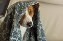 Indoor portrait of royal basenji dog hiding under coverlet. In favorite chair closely Royalty Free Stock Photo
