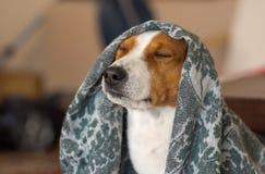 Royal basenji dog meditating under coverlet. Indoor portrait of royal basenji dog meditating under coverlet Stock Photography