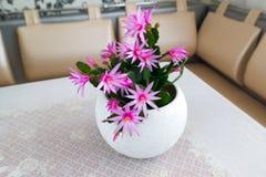 Indoor Schlumberger flower in  Interior Royalty Free Stock Images
