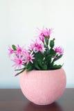 Indoor Schlumberger flower in  Interior Stock Photo
