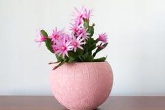 Indoor Schlumberger flower in  Interior Stock Image