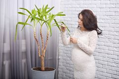 Indoor shot of standing pregnant woman in white smart dress looking attentively at green plant, touching it, wiping leaves, taking royalty free stock photos