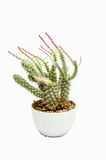 Indoor spiked cactus. Small spiked cactus in a cray pot Royalty Free Stock Image