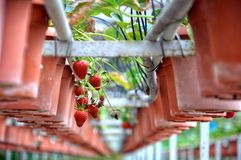Indoor strawberry hydroponic farm in Malaysia. royalty free stock photo