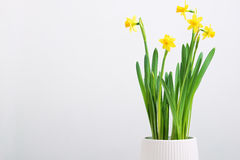 Indoor table setting. Narcissus flower in a pot. Indoor table setting. Narcissus flower in a pot on white backdrop royalty free stock photography