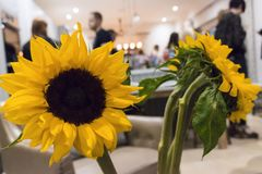Sunflowers inside kitchen royalty free stock images