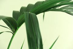 Kentia Palm leaves on green background royalty free stock photo