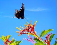 Indra Swallowtail fjäril fotografering för bildbyråer