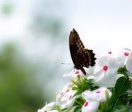 Indra Swallowtail motyl Obrazy Royalty Free