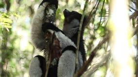 Indri狐猴或Babakoto Indri indri坐树 影视素材
