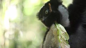 Indri狐猴Indri indri吃叶子 股票视频