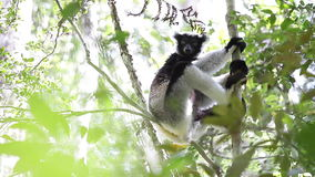 Indri狐猴 影视素材