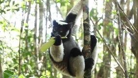 Indri狐猴 股票录像