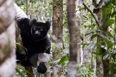 Indri,马达加斯加的最大的狐猴 免版税图库摄影