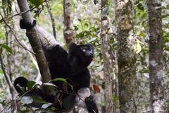 Indri,马达加斯加的最大的狐猴 库存照片