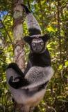 Indri, ο μεγαλύτερος κερκοπίθηκος της Μαδαγασκάρης Στοκ Εικόνες