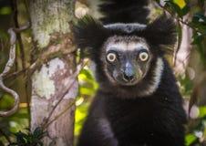 Indri, ο μεγαλύτερος κερκοπίθηκος της Μαδαγασκάρης Στοκ Φωτογραφία