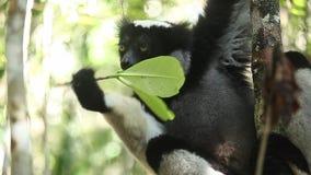 Indri Indri лемура Indri видеоматериал