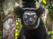 Indri, самый большой лемур Мадагаскара стоковые фото