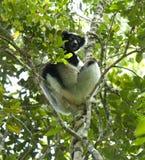 Indri, Indri indri royalty free stock photos