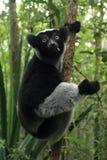 Indri fotografia de stock