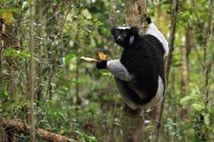 Indri Stock Fotografie
